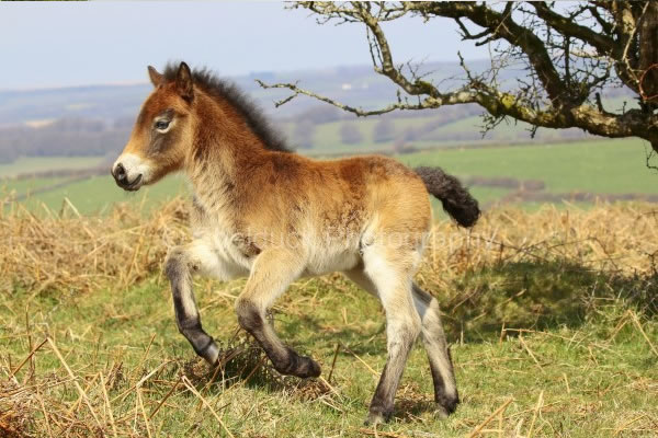 Exmoor ponies on Exmoor photography for sale