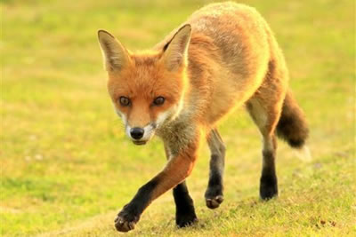 Fox Photography on Exmoor