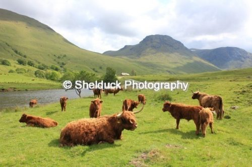 Highland cattle in Glen Lyon