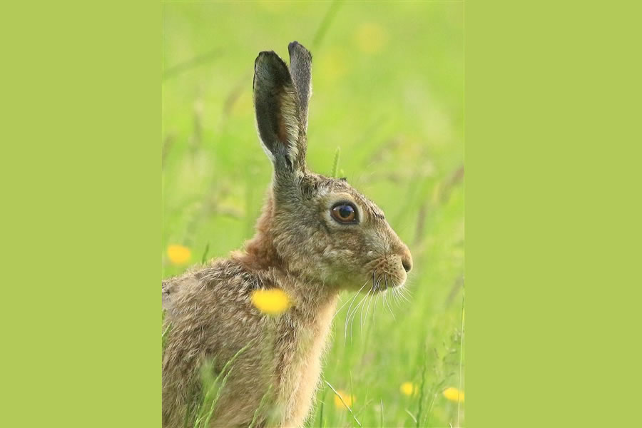 Professional photographes of hares for sale