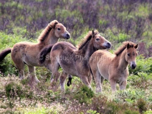 Exmoor Ponies, Chetsford