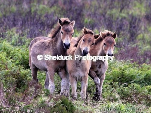 Exmoor Ponies at play