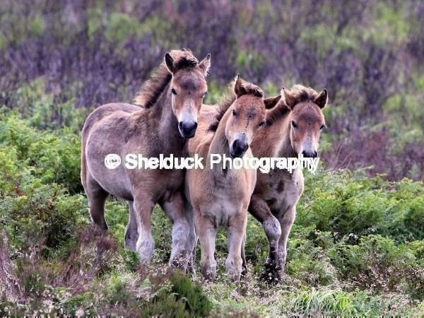 Exmoor Ponies at play