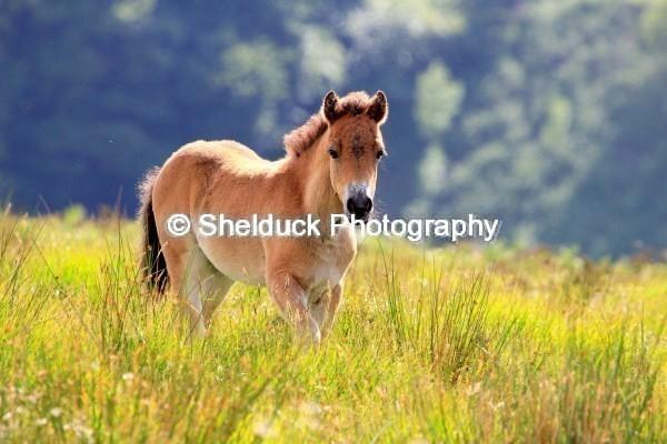Exmoor Pon,Summer 2012y