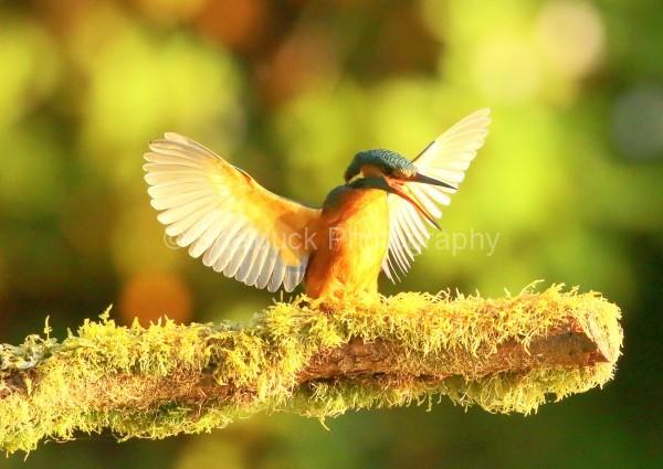 Kingfisher k1